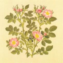 APFELROSE (ROSA RUBIGINOSA)