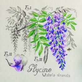 ETUDE À LA GLYCINE